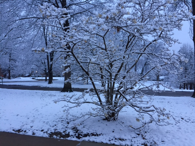 Snowbush