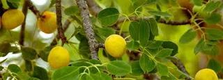 Marulafruit