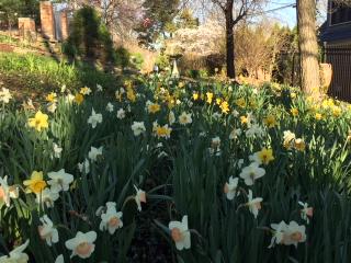 Daffodils18