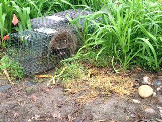 Raccoon8