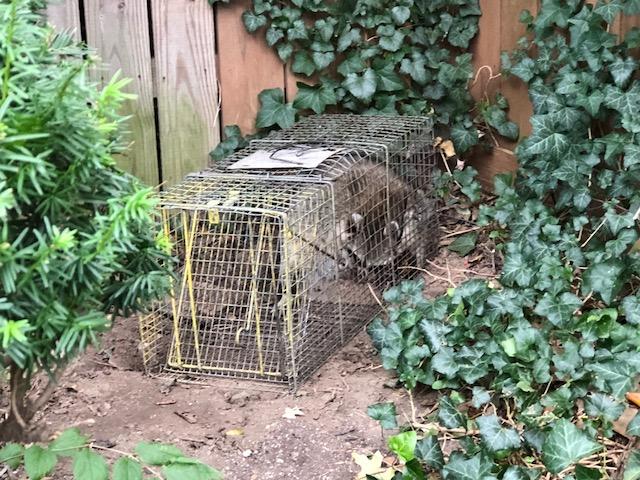Raccoons18