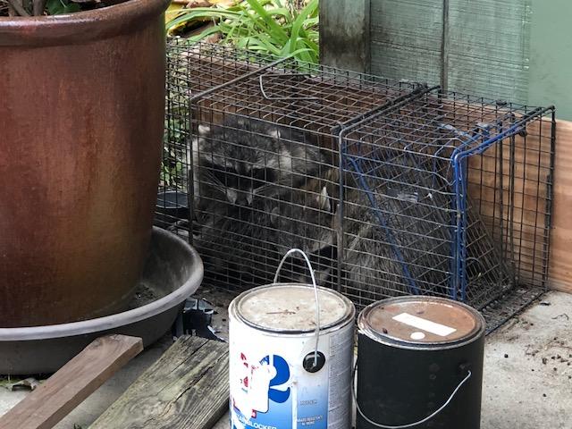 Raccoons18b